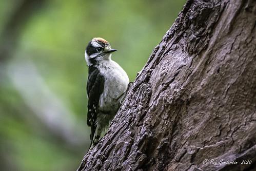Downy Woodpecker - Juvenile