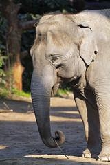 Elephant with twig