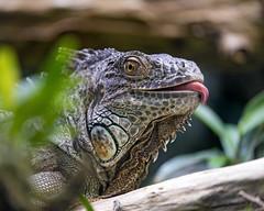 Iguana showing tongue