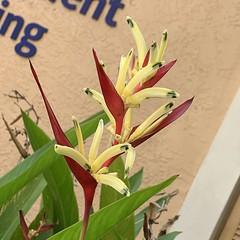 Heliconia Psittacorum Golden Torch