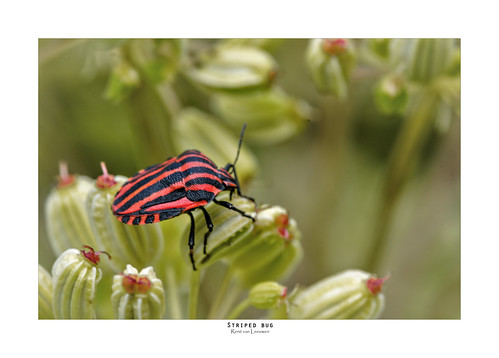 The striped bug