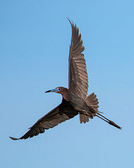 Little Blue Heron Inflight