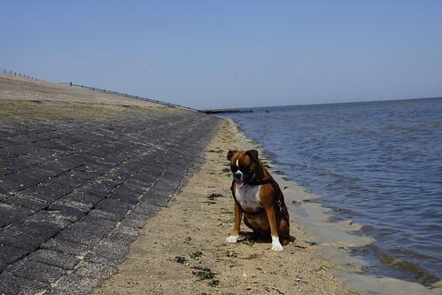 Boxer Lotje aan de Waddenzee in Moddergat 25-06-2020