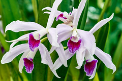 Lovely Laelia Lucy Ingram Orchid