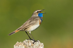 Bluethroat ( ssp svecica ) - Alps - Italy CD5A3217