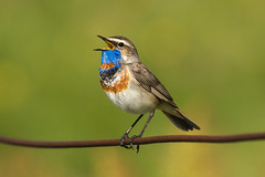 Bluethroat ( ssp svecica ) - Alps - Italy CD5A3165