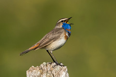 Bluethroat ( ssp svecica ) - Alps - Italy CD5A3135