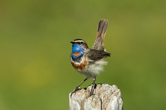Bluethroat ( ssp svecica ) - Alps - Italy CD5A3029