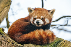 Cute red panda on the tree