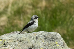Northern Wheatear - Alps - Italy CD5A3346