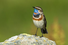 Bluethroat ( ssp svecica ) - Alps - Italy CD5A3267