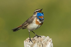 Bluethroat ( ssp svecica ) - Alps - Italy CD5A3062