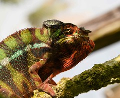 Painted Chameleon