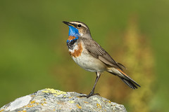 Bluethroat ( ssp svecica ) - Alps - Italy CD5A3234