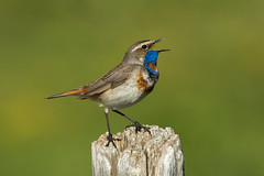 Bluethroat ( ssp svecica ) - Alps - Italy