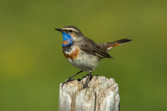 Bluethroat ( ssp svecica ) - Alps - Italy CD5A3001