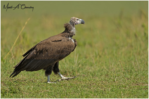 The Torgos Vulture!