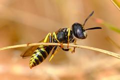 Bee wolf (Philanthus triangulum)