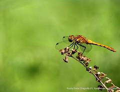 Ruddy Darter Dragonfly.(F): Sympetrum sanguineum