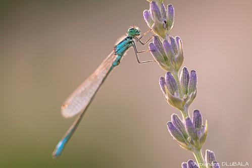 blue-tailed damselfly [explored]