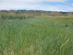 Agropyron smithii (bluegreen) and Agropyron dasystachyum (green)