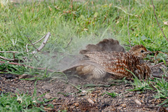 A Grey Francolin Letting off steam I guess!
