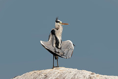 A Grey Heron - Praying?