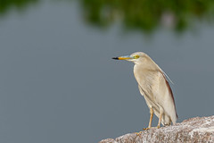 A Pond Heron staring at the Activity