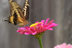 Swallowtail - Zinnia 1