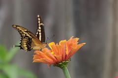 Swallowtail - Zinnia 2