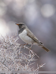 Dark-throated Thrush (Turdus ruficollis)