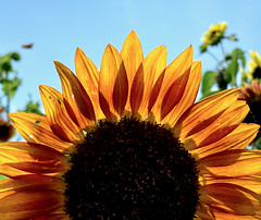 While sun flowers Raise their happy eyes Up to the flaming skies