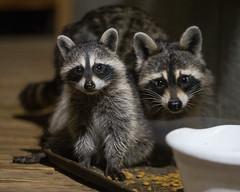 Backyard Raccoons