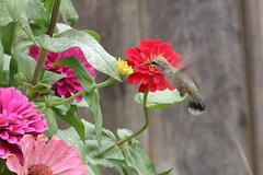 Ruby Throated Hummingbird - Zinnia