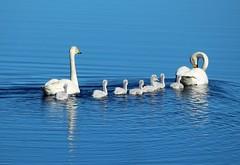 """""""Swan family"""""""