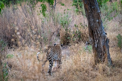 Leopard mit Beute / Leopard with Prey