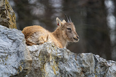 Baby ibex resting on the cliff
