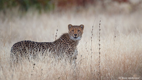 Cheetah, youngster