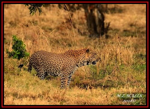 LEOPARD (Panthera pardus) ...MASAI MARA.....SEPT 2018