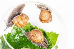 Three grape snails in a glass aquarium with grape leaves