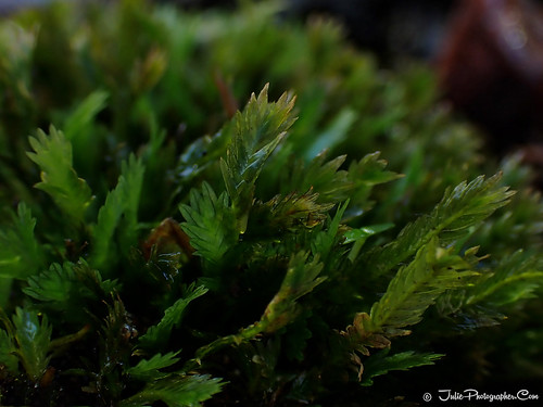 Feathery flat moss