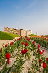 Tulpenbeet mit Stadtaustellung