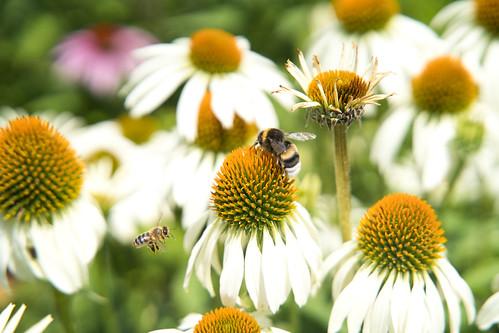 L'abeille et le bourdon
