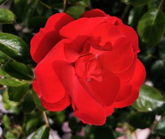 Bright red rose.
