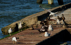 Gulls and eiders