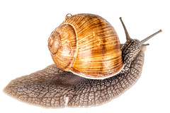 Creeping grape snail on a white background