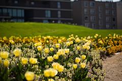 Tulpenbeet zwischen Erdhügeln