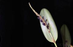 Acianthera saurocephala - 2020