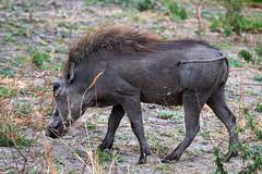 Warzenschwein / Warthog