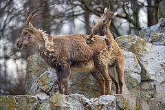 Baby ibex climbing on mom